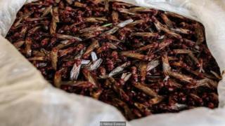 Una pila de hormigas chicatanas