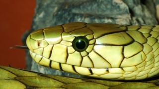 A green mamba snake