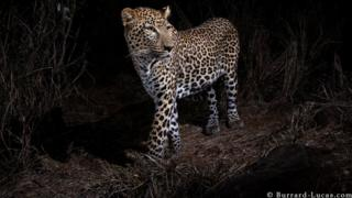 A spotted leopard captured in the wild on camera