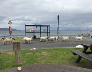 Sheep on Arran