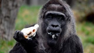 Gorilla dey chop