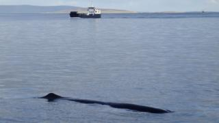 A 50ft sperm whale found its way in Kirkwall Bay in Orkney in 2011