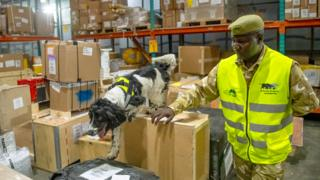 A springer spaniel walking over boxes at a warehouse in Jomo Kenyatta International Airport with a handler by their side - Nairobi, Kenya