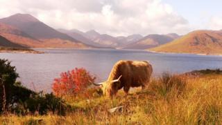 Cow grazing by Loch Quoich