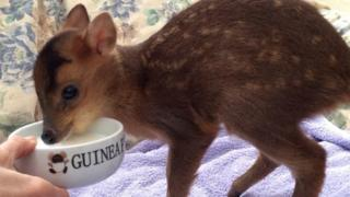 Baby deer drinking goats' milk at an animal sanctuary in Norfolk.