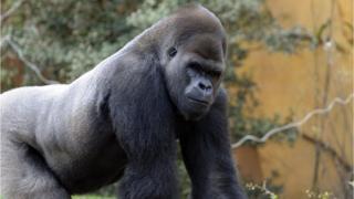 Cross River silverback gorilla