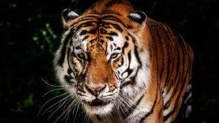 Tigre en India