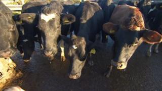 Cattle on Mossman Farm