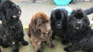 Four Newfoundland dogs rescued from a house fire