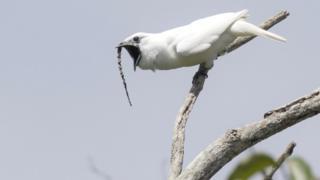Araponga-da-amazônia com bico aberto em um galho