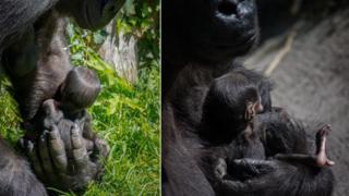 Gorilla and mum
