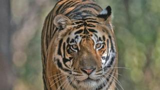 The three-year-old tiger goes by the name of 'MB2'