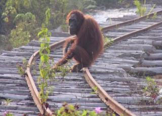 Borneo orangutanı