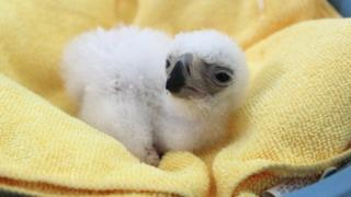 The newborn eagle chick