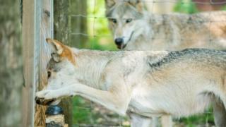 Собаки та вовки гостро реагували на несправедливість, коли інші піддослідні отримували краще частування