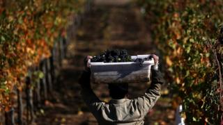 A field worker with Palo Alto Vineyard Management carries a bucket of freshly picked Syrah grapes during a harvest operation on October 25, 2017