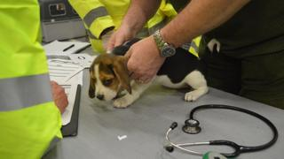 Hugo the beagle is checked by vets after being rescued from smugglers