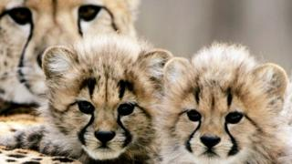 Cheetah cubs with their mum