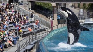 Visitors are greeted by an Orca killer whale as they attend a show featuring the whales at SeaWorld in San Diego, California (19 March 2014)
