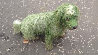 dog covered in blue green algae