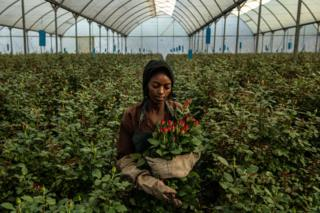 A woman picks roses inside a greenhouse at Wildfire Flowers in Naivasha, Kenya on 13 February 2019.