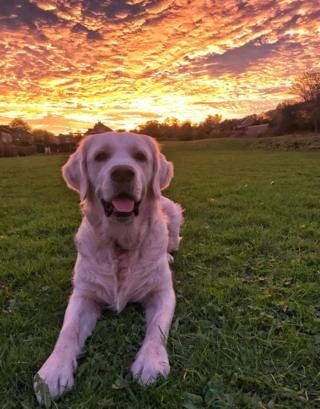 Golden retriever and sunset