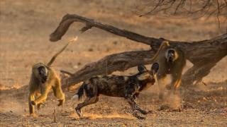 حمله متقابل میمونها؛ حالا بابونها هم در فهرست غذایی سگهای وحشی آفریقایی قرار گرفتهاند
