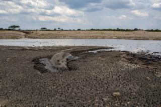 A hippo is stuck in the mud at a drying watering hole