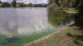The blue-green algae in the water