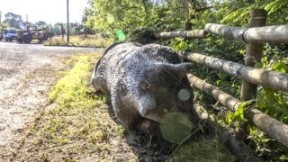 The bear lying on the verge