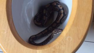 Snake coiled up in a domestic toilet
