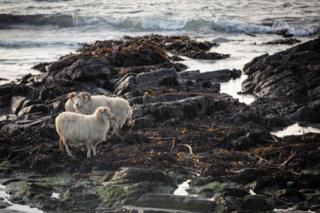 North Ronaldsay sheep eating seaweed
