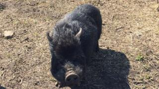 Marcus the micro pig