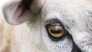 Ram eye