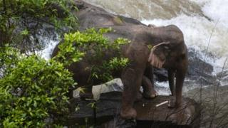 Thai elephant deaths: Do elephants risk their lives to save each other?