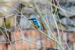 A kingfisher spotted in Abingdon