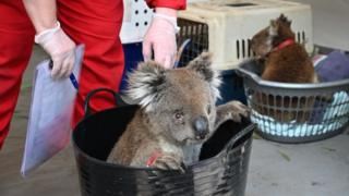 Koalas injured in the Kangaroo Island fire sitting in laundry baskets at the clinic