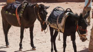 Two donkeys at Petra, one of which Peta says has a tongue sticking out due to neurological disorder