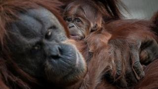 Baby orangutan clings to its mum