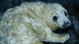 Close-up of seal pup
