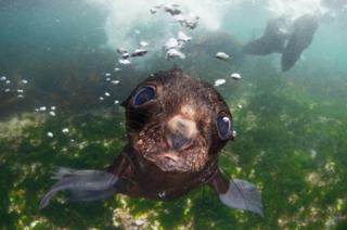 Bering sea. Commander islands, baby fur seal