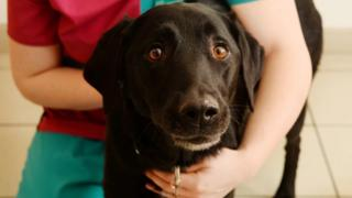 Marley the Labrador being held by PDSA worker