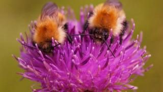 Caught these two Bees ploughing their way through a thistle In