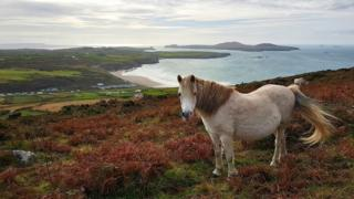 Pony grazing on the St David's Peninsula, Pembrokeshire
