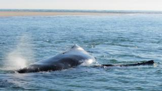 Sığ sularda mahsur kalan balina
