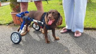 Max the spaniel with his new wheelchair
