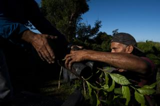 Workers load coffee plants