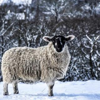 A sheep in snow