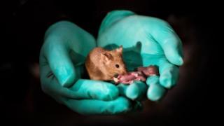 Filhotes de ratos bimaternais