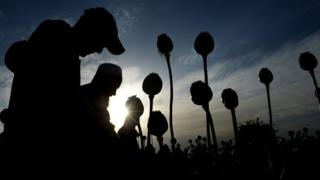 Afghan farmers harvest opium sap from their poppy fields in the Surkh Rod district of Nangarhar province, 21 April 2017